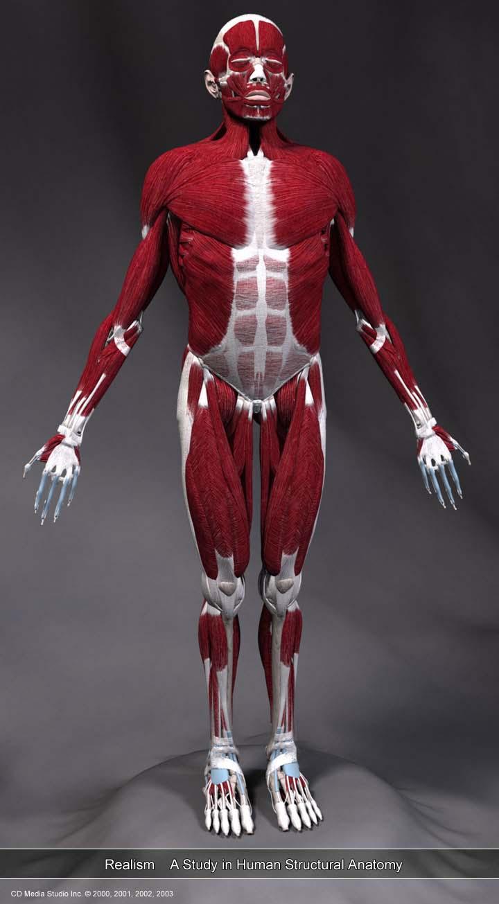 身体肌肉图_人体肌肉骨骼分析图|资源|花魁小站